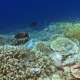 Two Emerald Angel Fish Playing Between Amazing Alive Coral Reef. Exciting and Unforgeable Diving - VideoHive Item for Sale