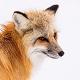 Fox Voice