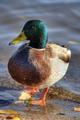 Wild duck - PhotoDune Item for Sale