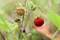 Detail of the wild strawberries - forest products - PhotoDune Item for Sale