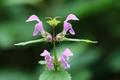 Blooming blind nettle - PhotoDune Item for Sale