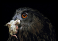 Small Snack - Eagle Owl Eating Small Chicken - PhotoDune Item for Sale