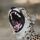Yawning leopard - PhotoDune Item for Sale