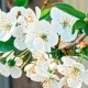 White Flowers of the Cherry Blossoms - VideoHive Item for Sale