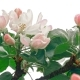 Apple Tree Flowers - VideoHive Item for Sale