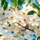Cherry Tree Blossom at Spring - VideoHive Item for Sale