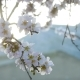 Flowering of Almond Flowers in the Spring Time on the Plantation - VideoHive Item for Sale