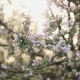 Flowering Branches of Apple Tree - VideoHive Item for Sale