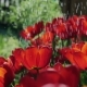 Watering Red Tulips in the Garden - VideoHive Item for Sale