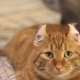 Eared Ginger Cat Funny Unbend Ears. - VideoHive Item for Sale