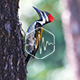 Woodpecker in the Forrest Loop