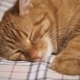 Ginger Cat Falls Asleep - VideoHive Item for Sale