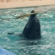 Dolphin Playing with Ring in Dolphinarium and Jumping on Poolside - VideoHive Item for Sale