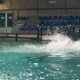 Dolphin Jumping with Ball During Training in Swimming Pool in Dolphinarium - VideoHive Item for Sale