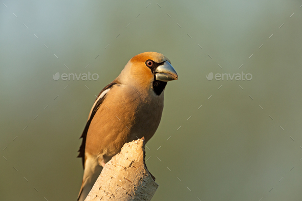 Hawfinch (Coccothraustes coccothraustes) - Stock Photo - Images