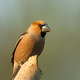 Hawfinch (Coccothraustes coccothraustes) - PhotoDune Item for Sale