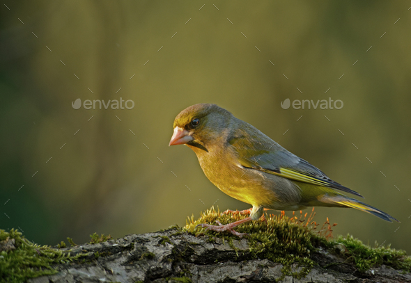 Greenfinch (Carduelis chloris) in the morning light - Stock Photo - Images