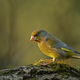 Greenfinch (Carduelis chloris) in the morning light - PhotoDune Item for Sale