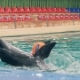 Dolphin Holding Ball with Fins During Training in Swimming Pool in Dolphinarium - VideoHive Item for Sale