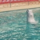 Beluga Whale Swimming with Stick in Water During Training in Dolphinarium Pool - VideoHive Item for Sale