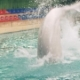Beluga Whale Jumping and Diving in Swimming Pool on Performance in Dolphinarium - VideoHive Item for Sale