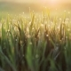 Fresh Spring Morning Grass with Dew - VideoHive Item for Sale
