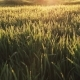 Fresh Spring Morning Wheat with Dew - VideoHive Item for Sale