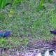 Purple Swamphen Bird (Porphyrio Porphyrio) in Water Lily Leaves at Thale Noi Waterfowl Reserve Lake - VideoHive Item for Sale