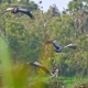 Flock of Asian Openbill Birds (Anastomus Oscitans) in Nature at Thale Noi Waterfowl Reserve Lake - VideoHive Item for Sale