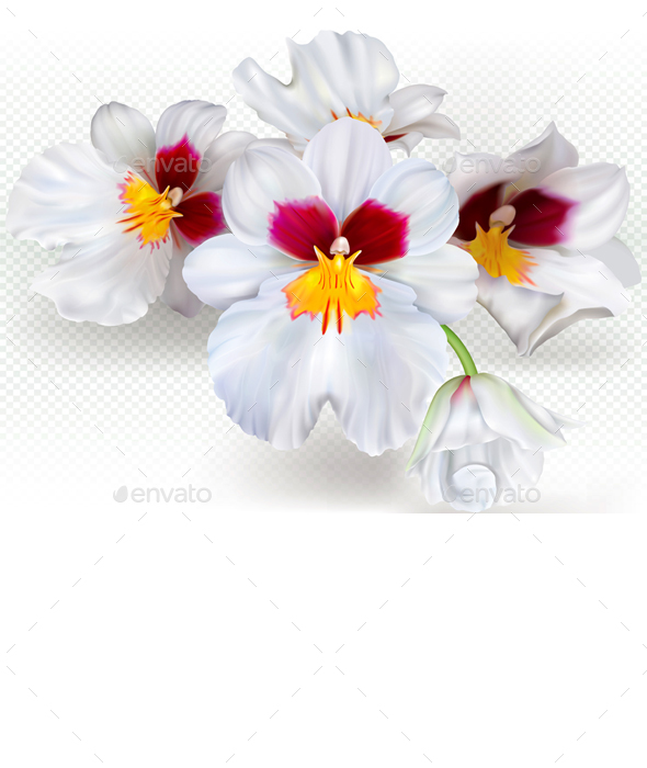 Miltoniopsis Flowers - Flowers & Plants Nature