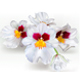 Miltoniopsis Flowers - GraphicRiver Item for Sale