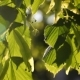 Green Leaves Sway in Wind in Spring Sunlight - VideoHive Item for Sale
