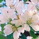 Apple Trees Flowers. the Seed-bearing Part of a Plant - VideoHive Item for Sale