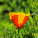 Timelapses of California Poppies Blooming - VideoHive Item for Sale