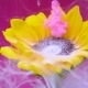 Sunflower and Pink Ink Cloud Infusion Into Water - VideoHive Item for Sale