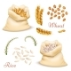 Agricultural Cereals - Wheat and Rice Isolated