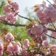 Beautiful Blooming Pink Cherry Blossoms in the Japanese Garden - VideoHive Item for Sale