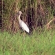 Asian Openbill Bird (Anastomus Oscitans) in Nature at Thale Noi Waterfowl Reserve Lake, Thailand - VideoHive Item for Sale