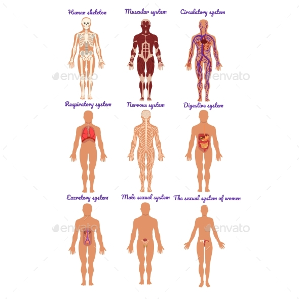 Different Human Organ System Sets by Top_Vectors | GraphicRiver