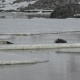 Weddell Seal Laying on the Ice - VideoHive Item for Sale