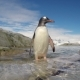 Gentoo Penguin Jump Out the Water - VideoHive Item for Sale