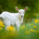 Goat on a pasture - PhotoDune Item for Sale