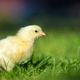 Little chicken on the grass - PhotoDune Item for Sale