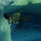 Little Penguin at the Zoo Swims - VideoHive Item for Sale