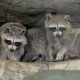 Family of Raccoons Sitting on the Tree - VideoHive Item for Sale