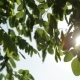 Green Leaves on a Tree Against the Sun and Blue Sky - VideoHive Item for Sale