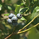 Blueberries Growing - VideoHive Item for Sale