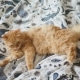 Cute Ginger Cat Lying in Bed. Fluffy Pet Is Licking Its Paws. Cozy Home Background - VideoHive Item for Sale