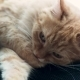 Cute Ginger Cat Lying on Backpack. Fluffy Pet Licking Itself, Cleaning Its Fur - VideoHive Item for Sale