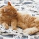 Cute Ginger Cat Lying in Bed. Fluffy Pet Is Licking Its Paws and Going To Sleep. Cozy Home - VideoHive Item for Sale
